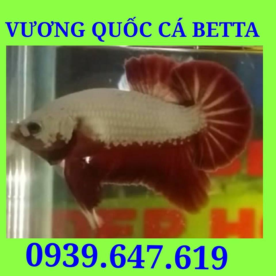 VuongQuocCaBetta