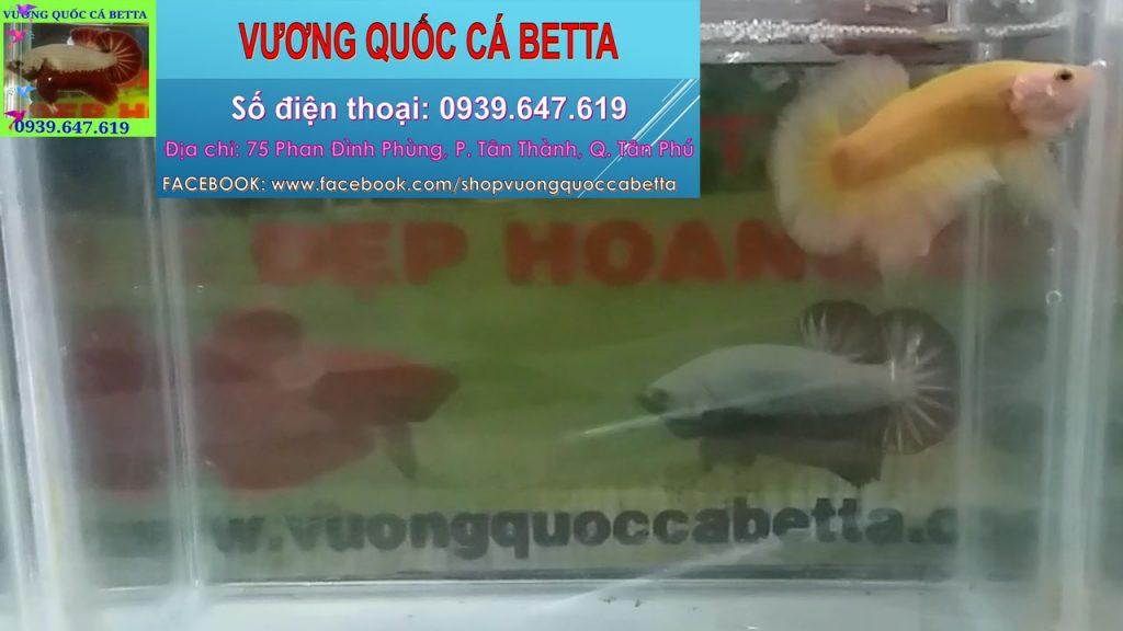 Cửa Hàng Chuyên Bán Cá Betta Fancy Yellow Ở Tphcm