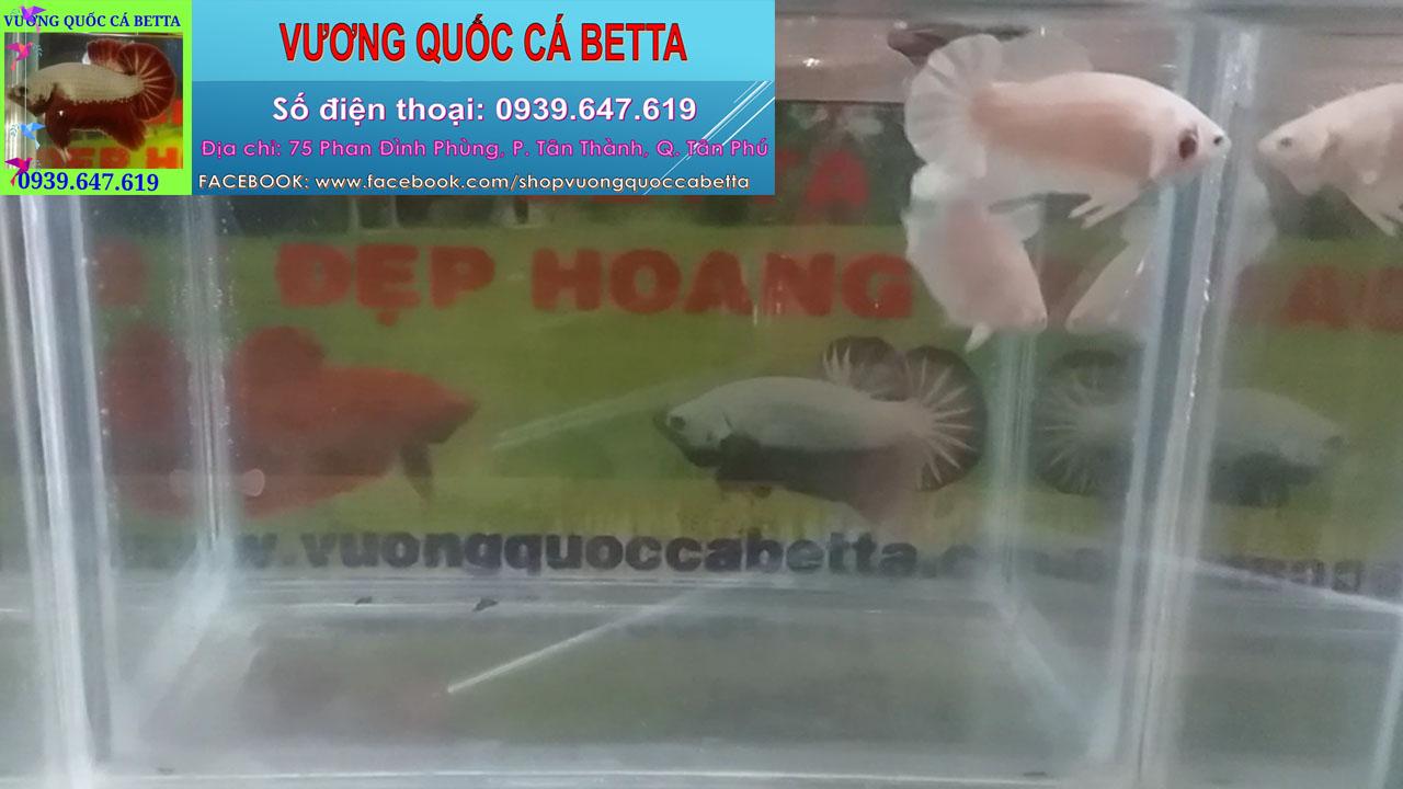Shop Chuyên Bán Cá Betta Fancy White Ở Tphcm