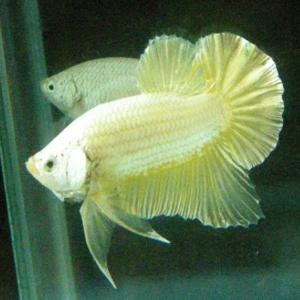 Vương Quốc Cá Betta - Địa điểm bán cá Betta Rồng Vàng