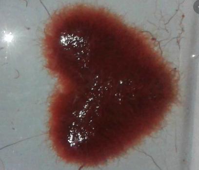 trùng chỉ tươi - thức ăn cho cá betta